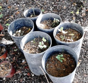 carob_seedlings