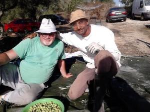 harvesting olives, Luz de Tavira, Algarve, Portugal