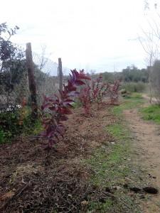 Einhell cultivator working in Luz de Tavira, Fuseta