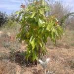 avacado tree - fuseta - algarve