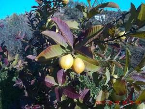 guavas, Belnonte, Luz de Tavira, Algarve