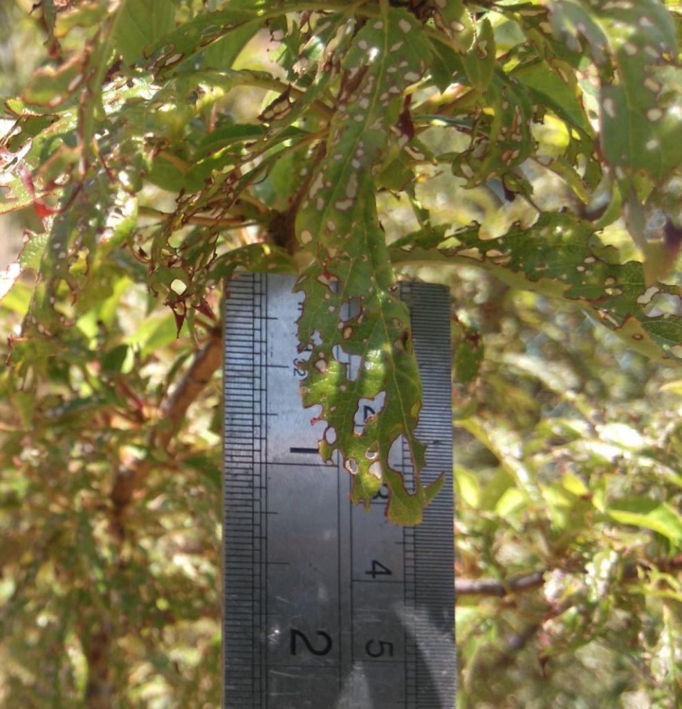 plum leaf eaten by pest, Belmonte, Luz de Tavira , Eastern Algarve