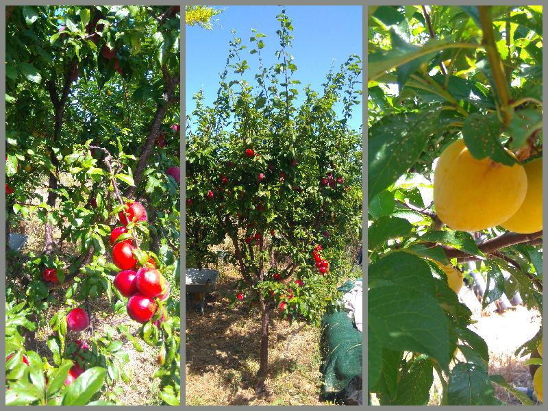 plums, red and yellow/ green plum varieties, Belmonte, Luz de Tavira, East Algarve, Portugal
