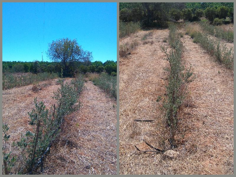 oliveiras para vender, olive trees for sale, Belmonte, Luz de Tavira