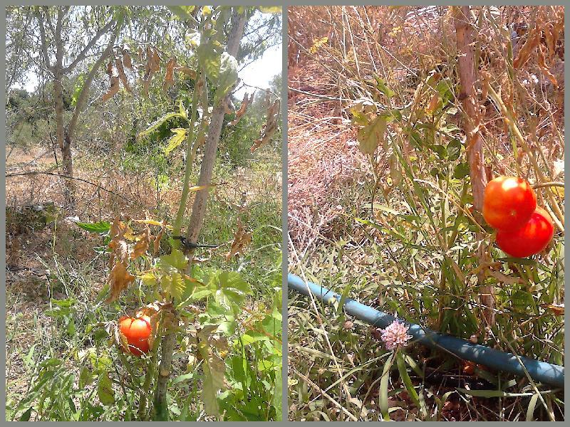 sun rioened tomatoes, Belmonte, Juz de Tavira, algarve