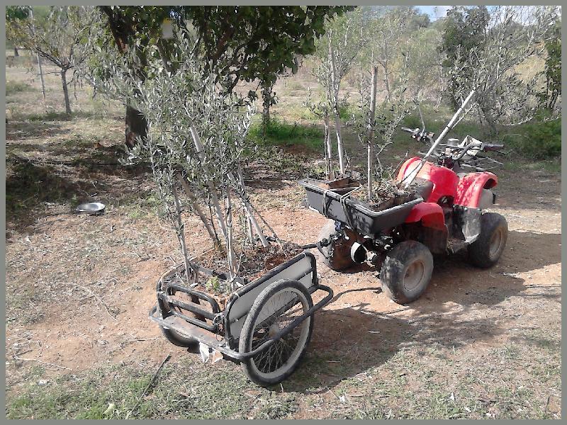 olive trees for sale, Belmonte, Luz de Tavira