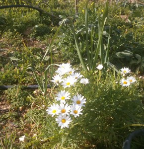 Linda says they are Chrysanthemums.