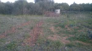 fig tree nursery