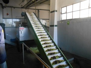 Olives off to be pressed for their oil, Santa Catarina do Fonte da Bispo, Algarve, Portugal