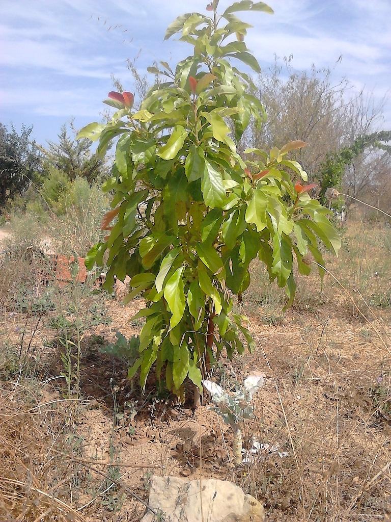 avacado tree - fuseta - algarve