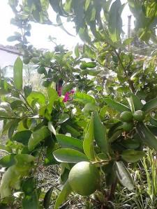 lime tree - luz de tavira - algarve