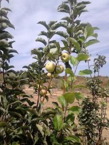 apples - luz de tavira - algarve
