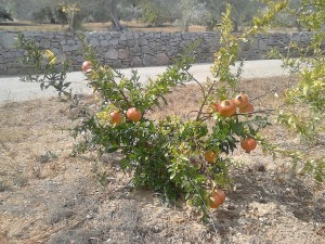 pomegranate - fuseta - algarve