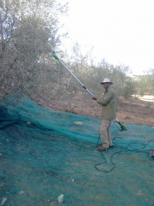 Picking Olives, Belmonte, Luz de Tavira