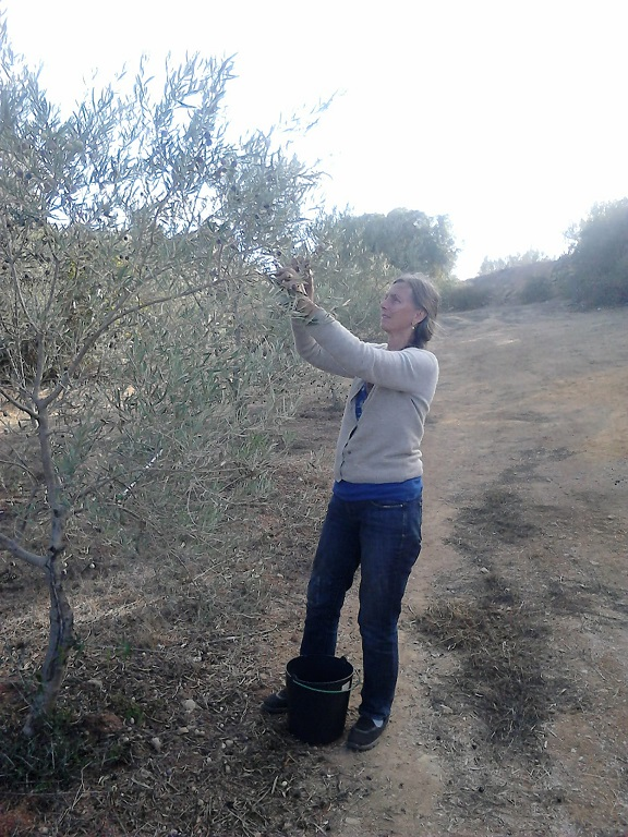 picking olives, Luz de Tavira, Portugal