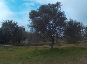 Mature olive tree, Oliveira, Luz de Tavira