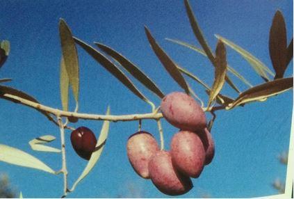 Cornicabra olives, Algarve Portugal