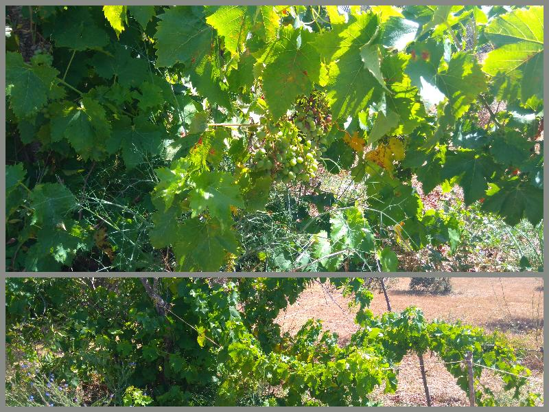 Grapevines. Dona Maria Branca and Italia varieties, Belmonte, East Algarve, Portugal
