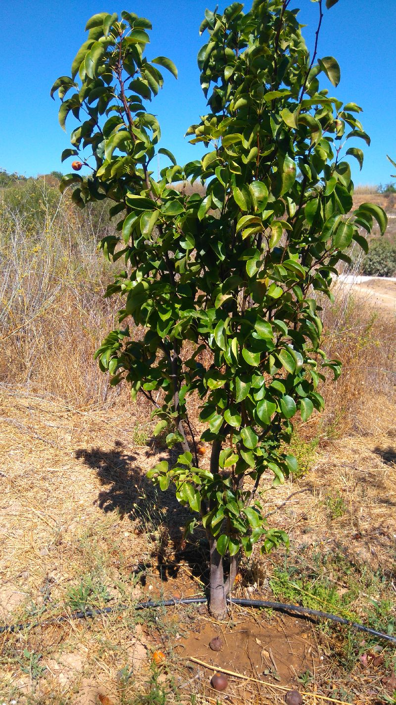 nashi pera, nashi pear, Belmonte, Algarve, Luz de Tavira
