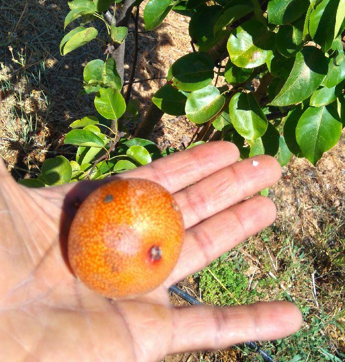 nashi pear, nashi pera, Belmonte, Luz de Tavira