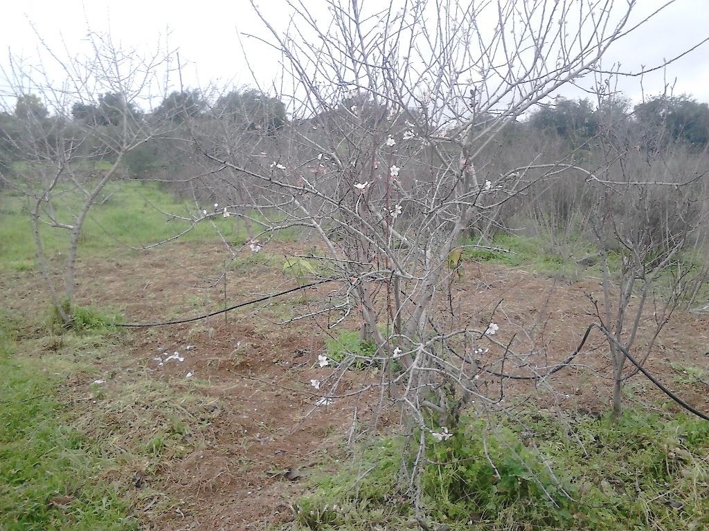 almond trees, Belmonte, Luz de Tavira, Algarve